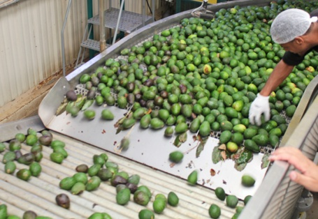 Avocados begin their journey from the farm bin through the line.  They are washed, waxed, sorted, sized and boxed in a matter of minutes.