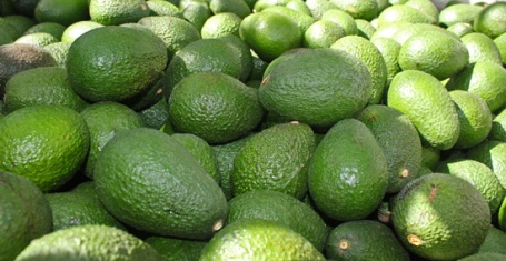 Perfect Avocados picked await us in this 900 pound farm bin.