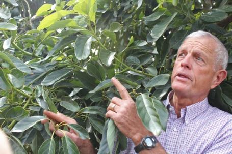 Dan Pinkerton among his avocado trees.