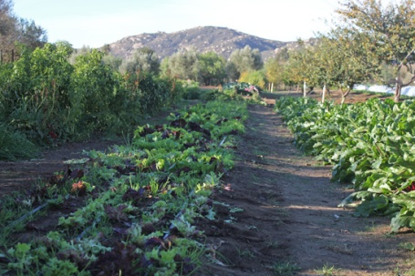 The garden where our salad is grown.